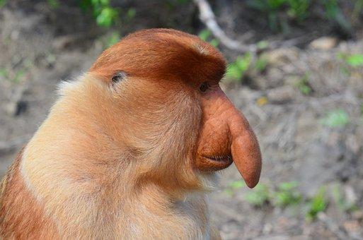 Borneo, Monkey, Long Proboscis Monkey, Probosci