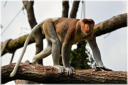 Proboscis Monkey, Monkey, Rare, Species, Mammal