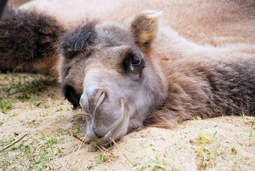 Camel, Dromedary, Head, Face, Resting, Rest, Lying