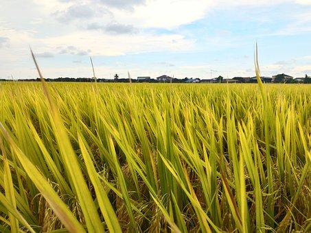 Paddy, Field, Rice, Sky, Farm, Malaysia