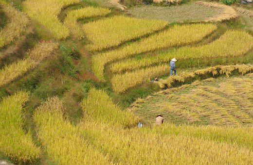 Rice, Harvest, Crops, Agriculture, Field, Paddy, Asia