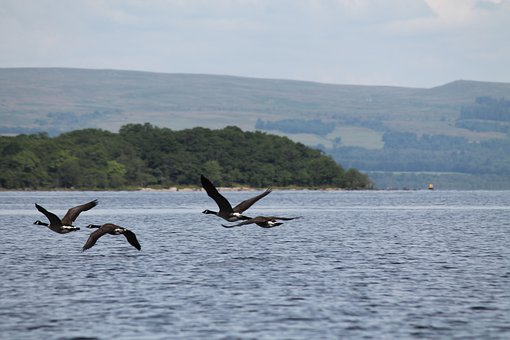 Scotland, Loch Lomond, Lake, Birds