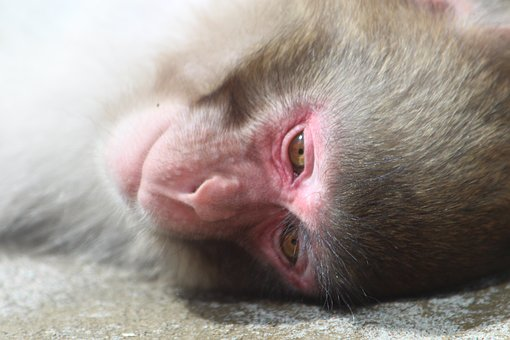 Snow Monkey, Japanese Macaques, Monkey, Lies, Snout