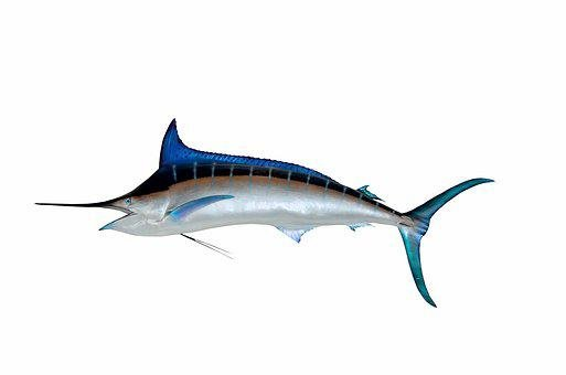 Blue Marlin, Fish, Taxidermy, Mounted, Game Fish, Sport