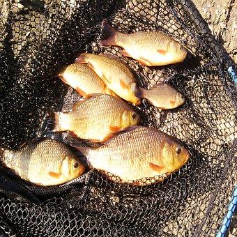 Fish, Fishing, Fisherman, Rod, Hobby, Water, Freshwater