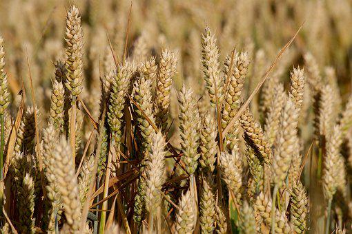 Field, Grain, Cereals, Agriculture, Nature, Ear, Wheat