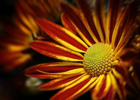 Chrysanthemum, Double, Yellow, Red, Blossom, Bloom