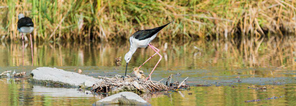 Stilt Bird, Nest, Stilt, Avocet, Bird, Watt Bird