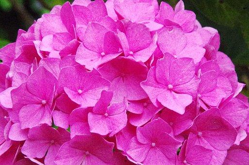 Hydrangea, Hydrangea Paniculata, Flower, Pink Flower