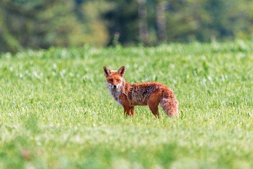 Fuchs, Red Fox, Little Fox, Red Hair, Meadow