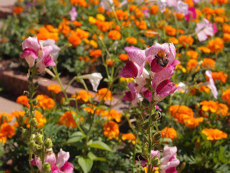 Flowers, Flower Bed, Snapdragons, Pink, Insects