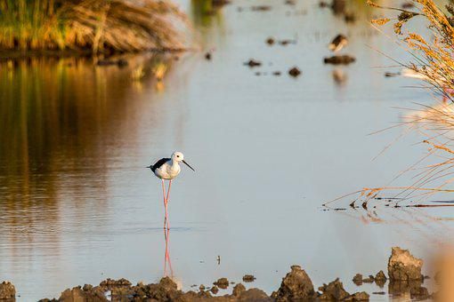 Stilt Bird, Stilt, Mirroring, Avocet, Bird, Watt Bird