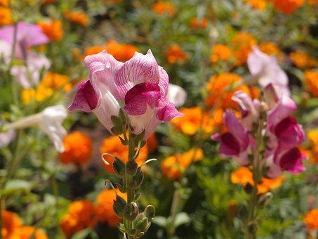 Flowers, Flower Bed, Snapdragons, Pink, Summer Flowers