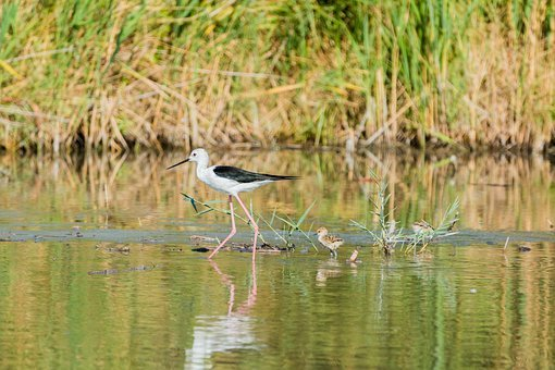Stilt Bird, Young, Nest, Stilt, Avocet, Bird, Watt Bird