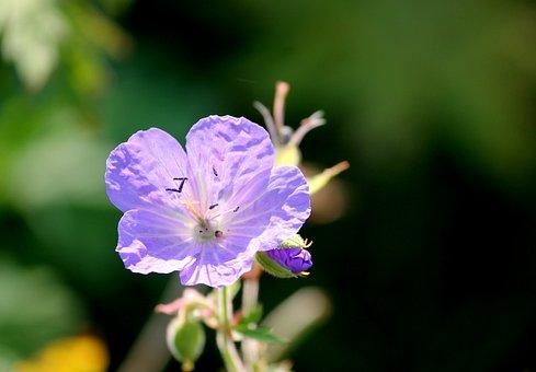 Meadow Cranesbill, Cranesbill, Blossom, Bloom, Violet