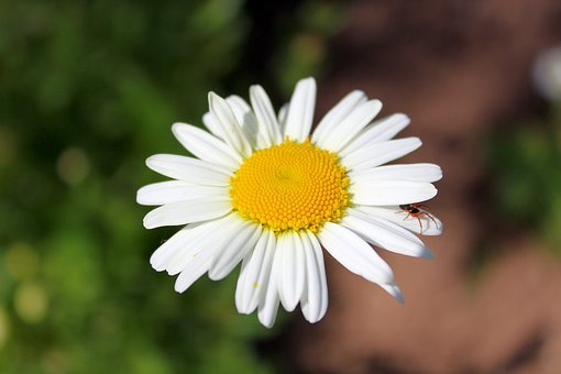 Daisy, Leucanthemum, Flower, White, Yellow, Bloom