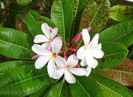 Plumeria, Flower, Tropical, Frangipani, Blossom, Nature