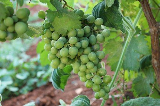 Raisin, Bunch Of Grapes, Görükle, Raw Grape