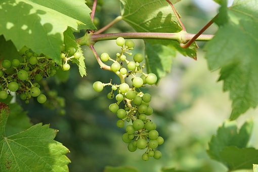 Wine, Grape, Winegrowing, Fruits, Fruit, Vines, Nature