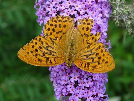 Lilac, Fritillary, Butterfly, Summer, Butterflies