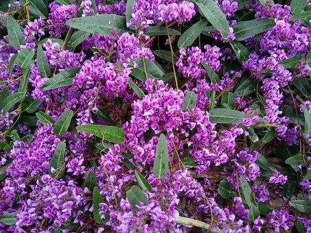 Hardenbergia, Native Wisteria, Purple, Blossoms, Flora