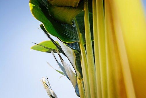 Banana Tree, Garden, Ornamental, Landscape, Leaf