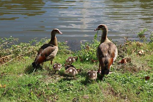Peking Duck, Duck, American Peking Duck, Water Bird
