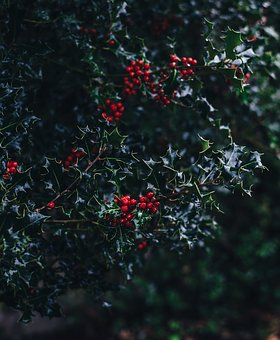 Common, Holly, Aquifoliaceae, Red, Fruit, Green, Leaf