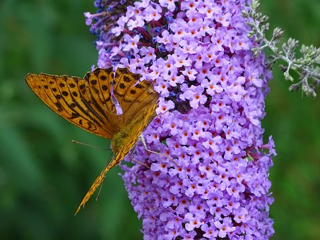 Fritillary, Summer Lilac, Butterfly, Buddleja Davidii