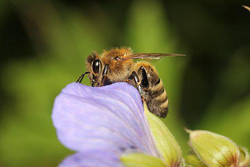 Wasp, Bee, Insect, Close, Collect Nectar, Blossom