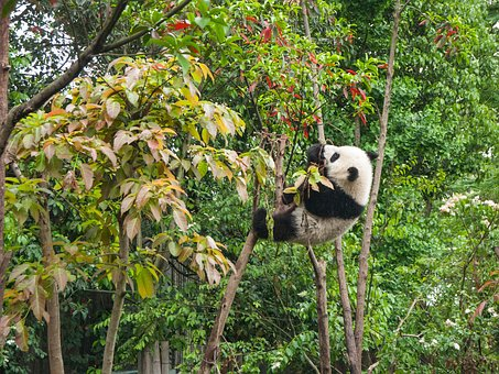 Tree, Plant, Nature, Panda, Bear, Wildlife, Climb