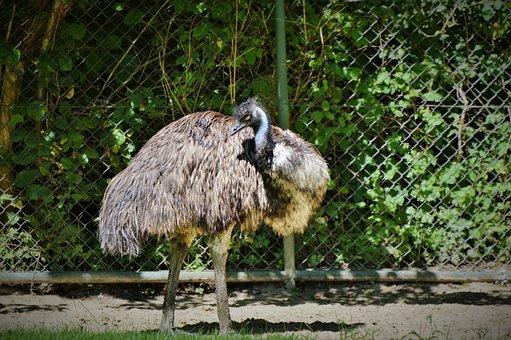 Emu, Flightless Bird, Bird, Flightless Laufvogel, Zoo