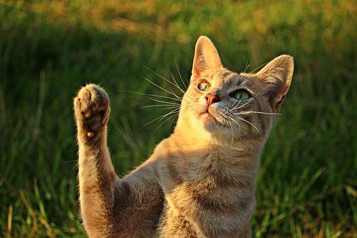 Cat, Mackerel, Paw, Talon, Mieze, Kitten, Tiger Cat