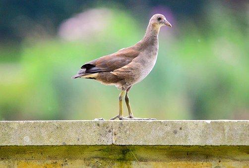Moorhen, Moorhen Chick, Chicks, Feather, Nature