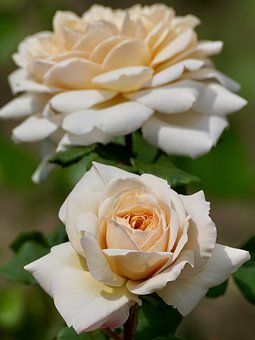 Rose, Salmon, Blossom, Bloom, Plant, Nature, Garden
