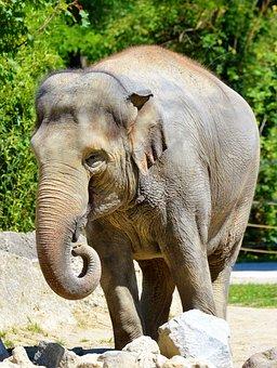 Elephant, Pachyderm, African Bush Elephant, Proboscis