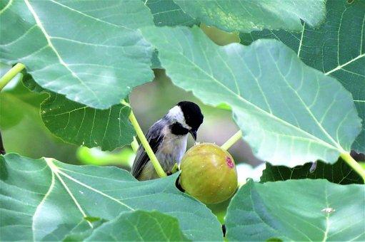 Bird, Chickadee, Eating Fig, Tree, Wildlife