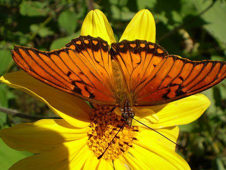 Butterfly, Orange, Yellow Flower, Hostal, Sucking