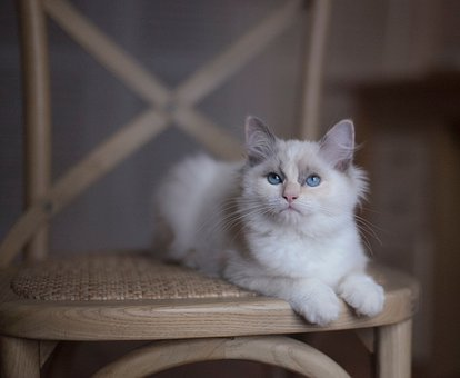 Inside, House, White, Cat, Pet