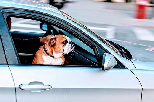 Pug, Dog, Pet, Animal, Car, Vehicle, Travel, Road