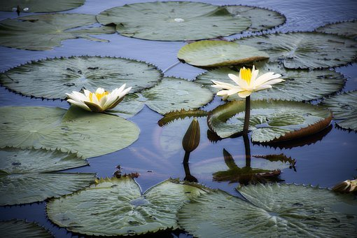 Vitória Régia, Nature, Lake, Botany, Flora, Water