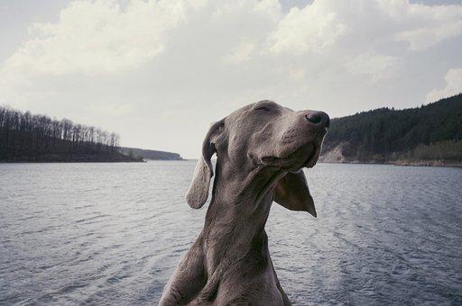 Weimaraner, Breed, Dog, Animal, Lake, Water, Clouds