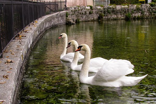 Swan, Swans, Cygnus, Anatidi, White, Birds, Source
