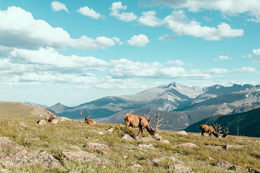 Highland, Green, Grass, Deer, Horn, Animal, Herd, Rock