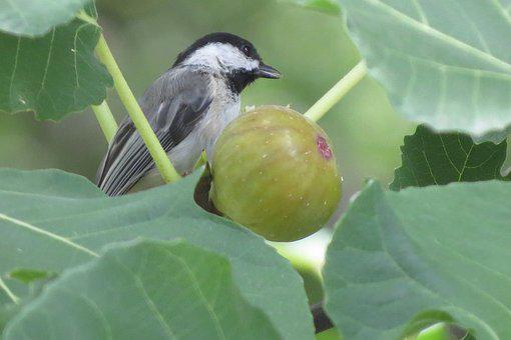 Tiny Bird, Chickadee, Eating Fig, Wildlife