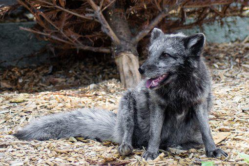 Finja, Arctic Fox, Alopex Lagopus, Big Cat Asylum