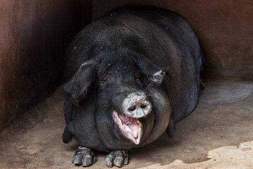 Hog, Pig, Animal, Black