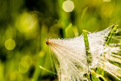 Dewdrop, Morgentau, Thistle Seed, Drip, Wet
