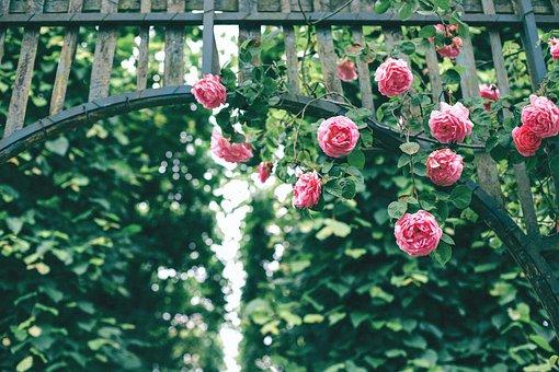 Roses, Pink, Flower, Petals, Bloom, Nature, Green