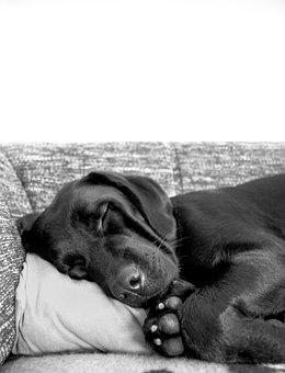 Dog, Puppy, Pet, Animal, Sleeping, Pillow